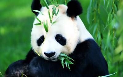 Бебе панда – тајландска ѕвезда на реално шоу