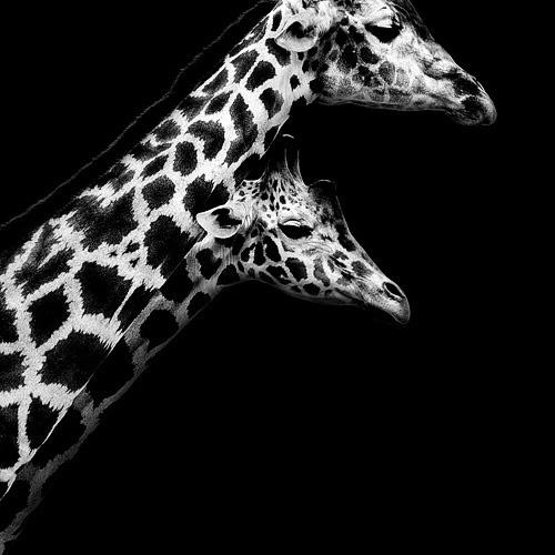 (11) Темната зоолошка