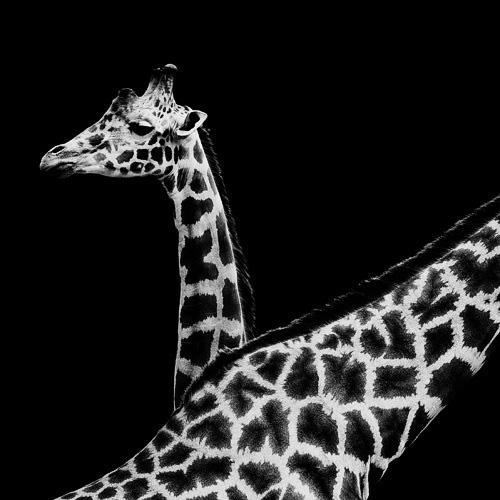 (15) Темната зоолошка