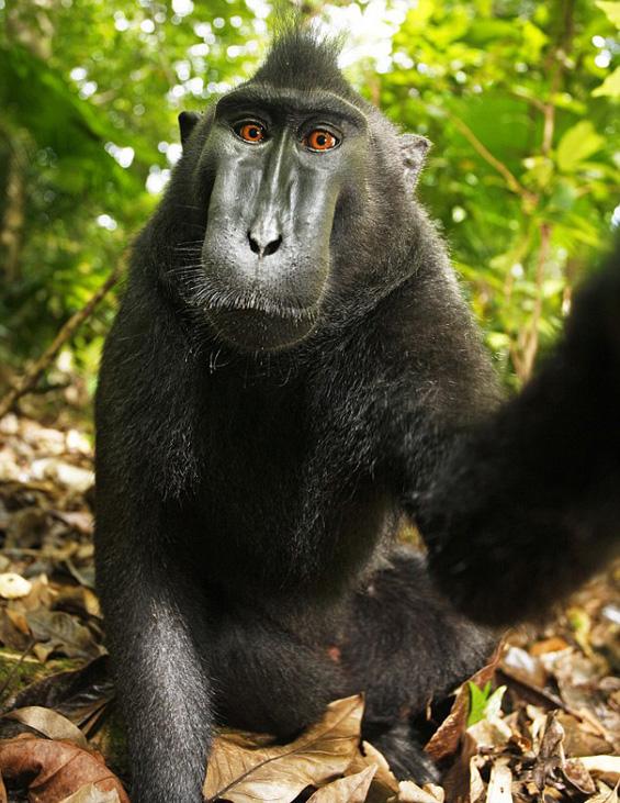 Мајмун украл апарат и направил смешни авто-портрети