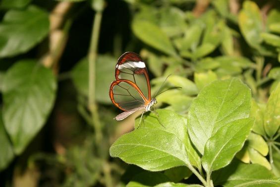 Волшебни пеперутки со проѕирни крилја