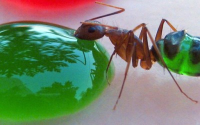 Виножито од мравки