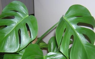 Совети за одгледување на собни растенија - филодендрон