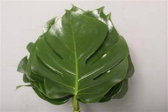 Совети за одгледување собни растенија - филодендрон