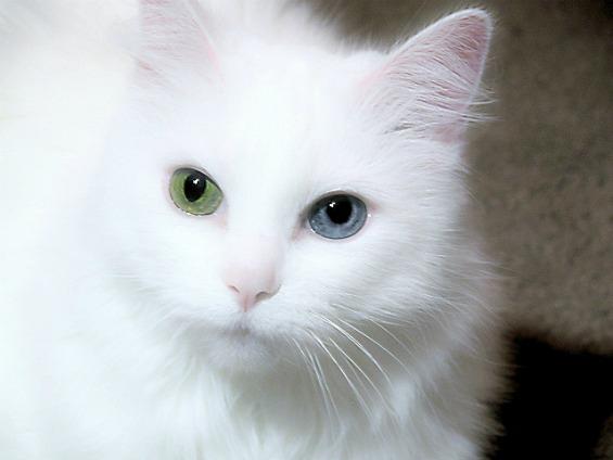 Мачки со различна боја на очите