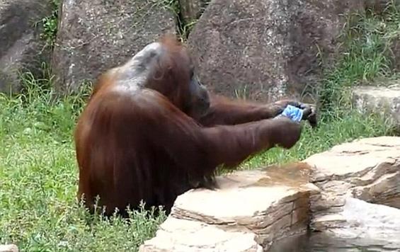 Снаодлив орангутан се брише со мокра крпа за да се спаси од горештината