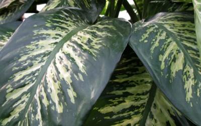 Совети за одгледување собни растенија - Дифенбахија