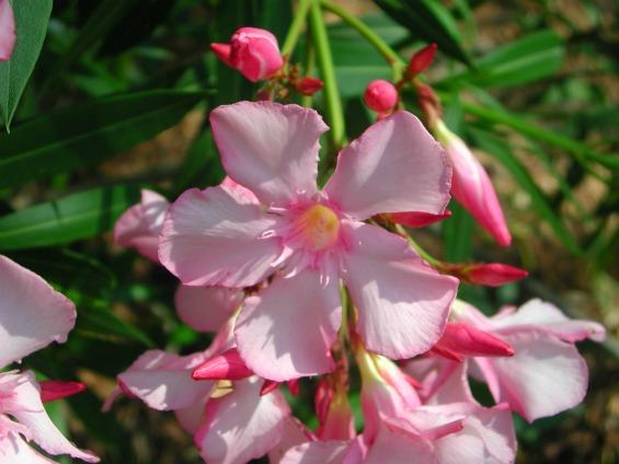 Совети за одгледување собни растенија - Олеандер