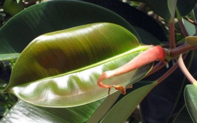 Совети за одгледување собни растенија - Фикус