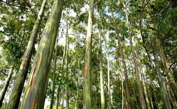 Дрво со шарено стебло