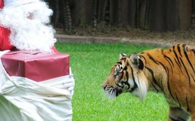 Храбар Дедо Мраз им носи подароци на тигри во Зоо