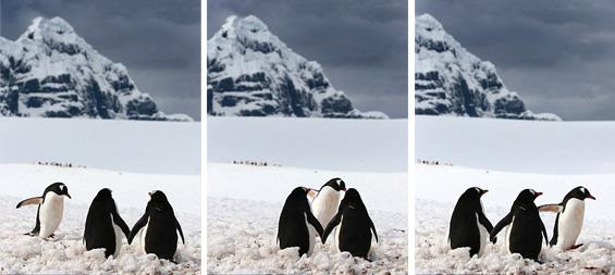 Романтични пингвини се држат за раце