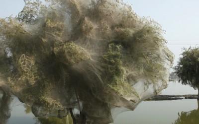 """Дрвја """"облечени"""" во пајажина"""