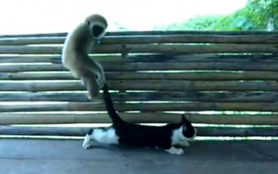 Безобразен мајмун не знае да се однесува со дама