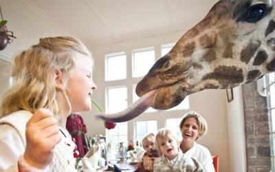 Би сакале ли да појадувате заедно со жирафи?