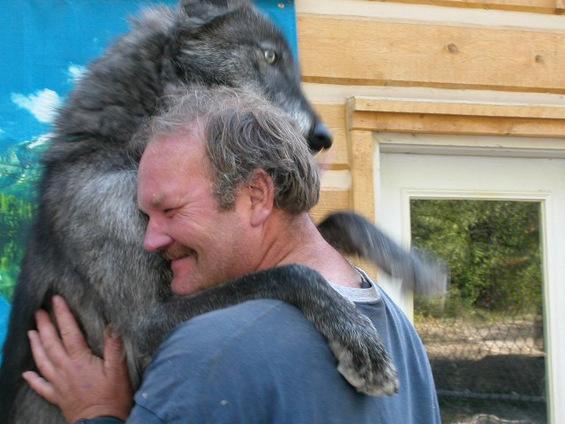 Добрите страни на волците заради кои ќе ги засакате