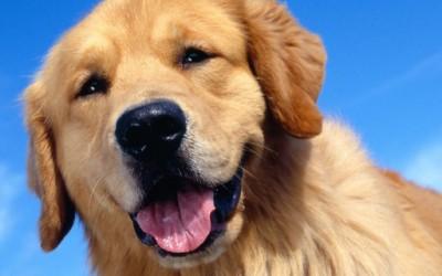 Најверните раси кучиња