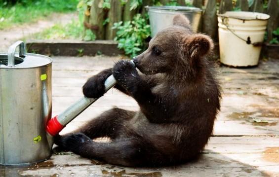 Би чувале ли мечка како домашно милениче?