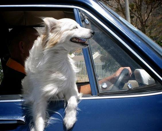 """Кучиња што се """"ладат"""" низ автомобилските прозорци"""