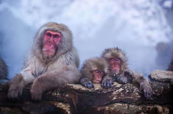 Мајмуни уживаат во топла бања