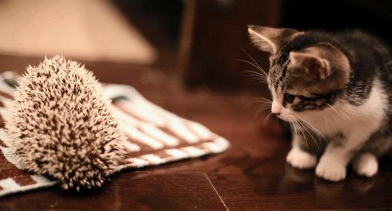 Интересна средба помеѓу маче и еже