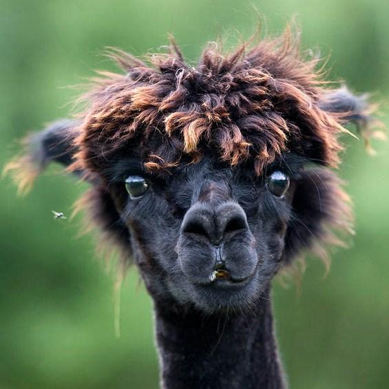 Кој има најдобра фризура помеѓу животните