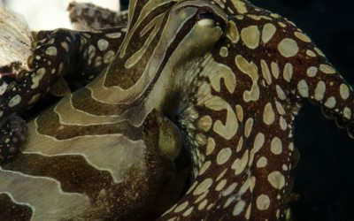 Необични октоподи кои се бакнуваат
