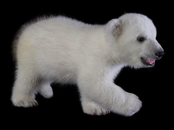 Најслаткото поларно мече