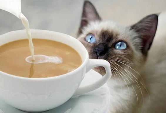 Што ѝ се случува на мачка кога ќе претера со пиење кафе?