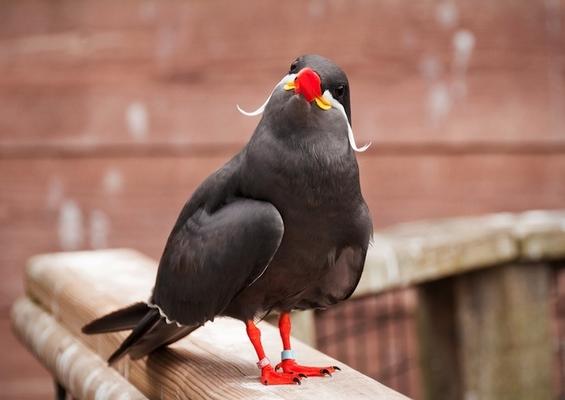 Сте виделе ли некогаш птица со мустаќи?