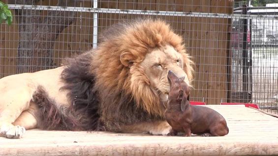 Лав на забен преглед кај едно куче