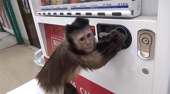 Мајмун зема сок од автомат, но не си го заборава ни кусурот