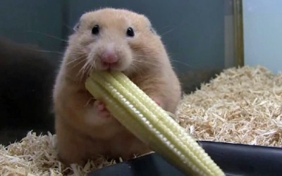 Хрчак пика цело клавче пченка во муцката
