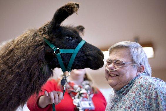 Мили лами им носат радост на болните и постарите