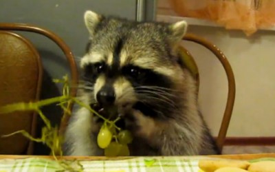 Сладок ракун ужива јадејќи грозје