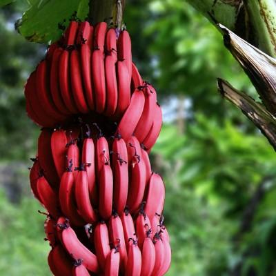 Црвени банани