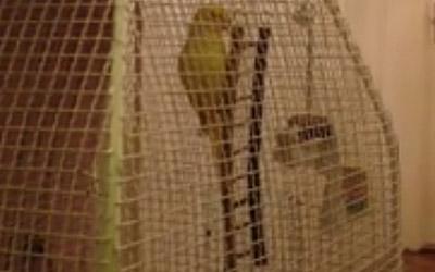 Белградски папагал научил да лае како куче