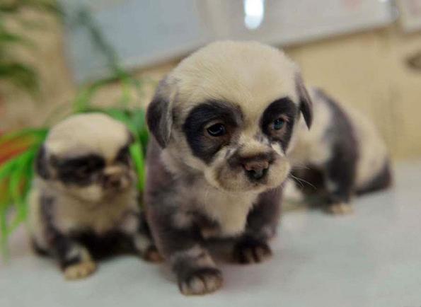 Слатки кутриња кои изгледаат како мали панди