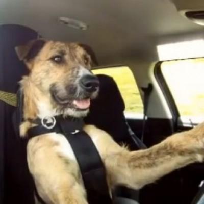 Запознајте го Портер, првото куче на светот кое знае да вози автомобил