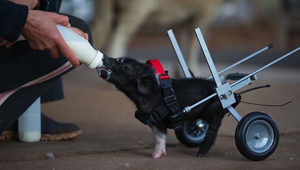 Топлата приказна за неодоливото прасенце на тркала ќе ви покаже дека сите препреки во животот можат да бидат надминати