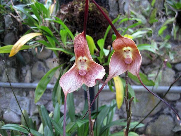 Орхидеја во форма на мајмунско лице (2)