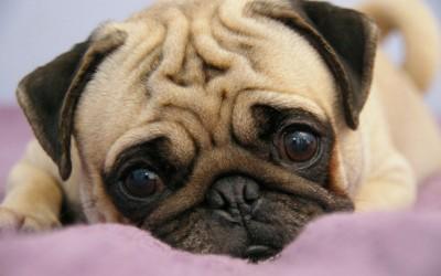 Најслатко збрчканите кучиња кои некогаш ќе ги видите