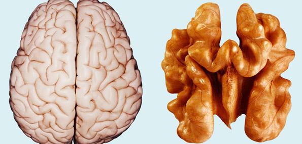 Model of a human brain
