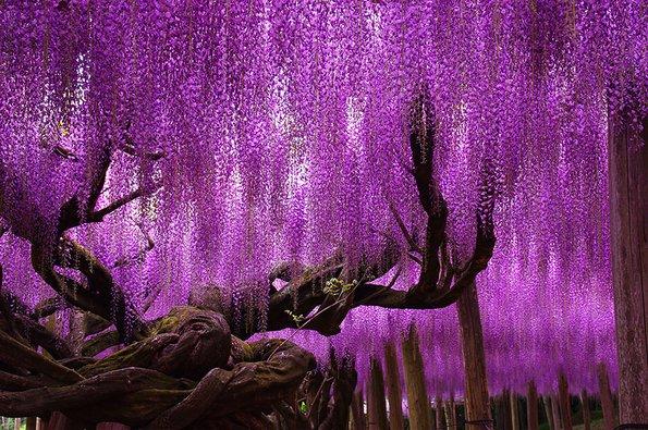 Чудо на природата: Ова прекрасно дрво старо 144 години ќе ви го одземе здивот