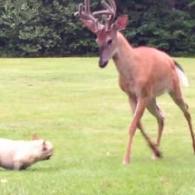 Неодолива игра на француски булдог и елен