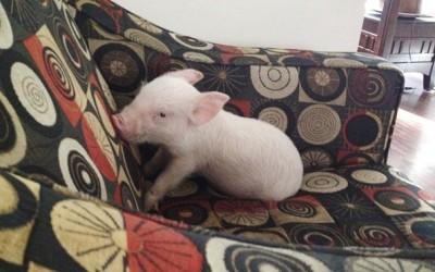 Тие мислеле дека посвојуваат мини-прасе, но по 2 години и 300 килограми сфатиле дека чуваат свиња со целосна големина