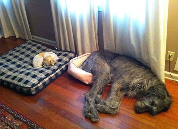 Кучиња на кои не им е јасно колку се големи