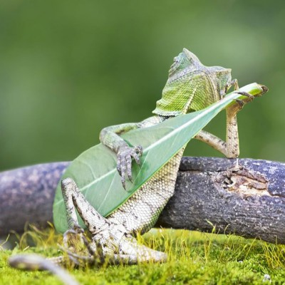 Гуштер кој свири гитара и ужива на сонцето