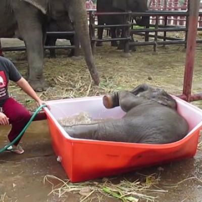 Слонче кое обожава да се бања но кадата му е многу мала