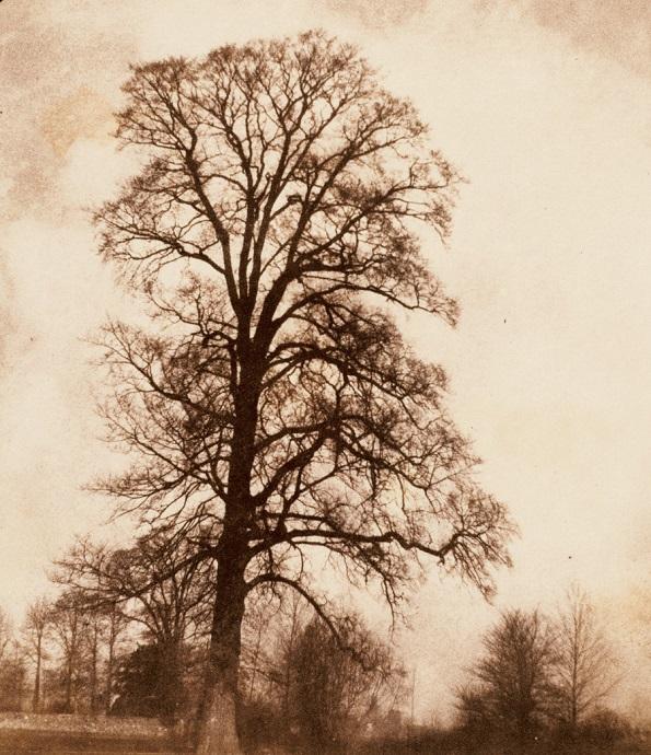 Фотографија на Вилијам Талбот, Големиот брест во Лакок - солен принт на хартија добиен од принт негатив (1843 - 1845 година)